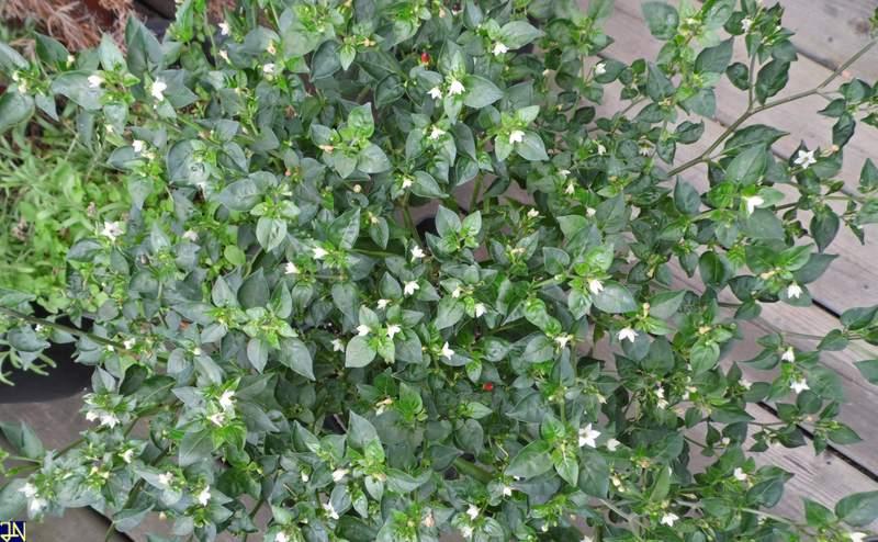Florida Wildbird Blüten