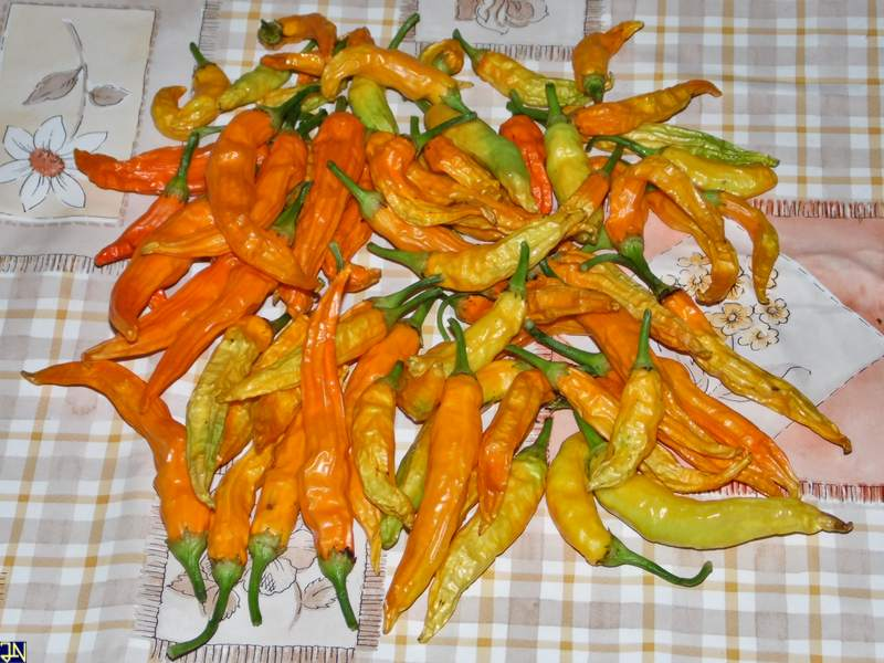 APS Aji Orange