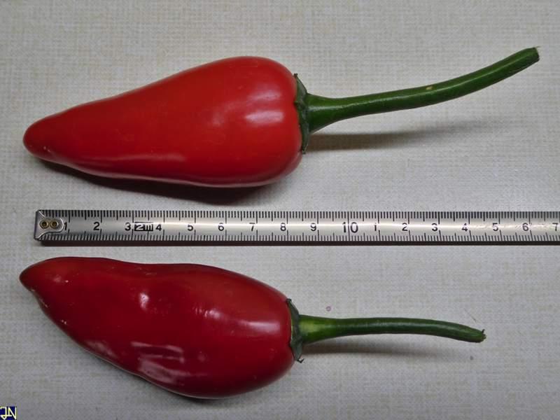 APS Jalapeno Large Red