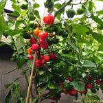 Scotch Bonnet Beeren Thumb